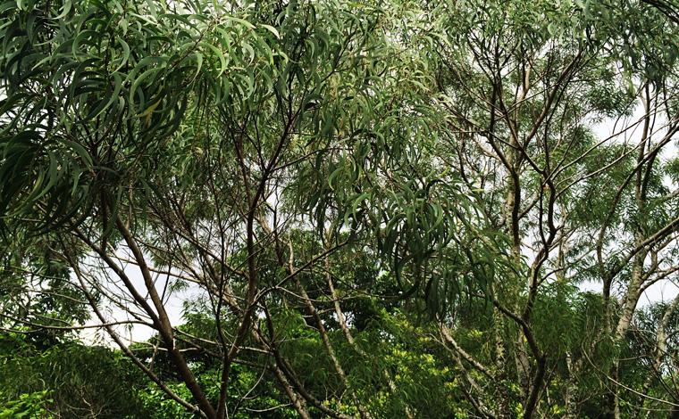 ウクレレの材料「コア」の木